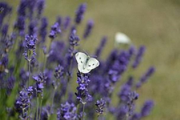 El vol de les papallones dels Alps – La mort traumàtica –