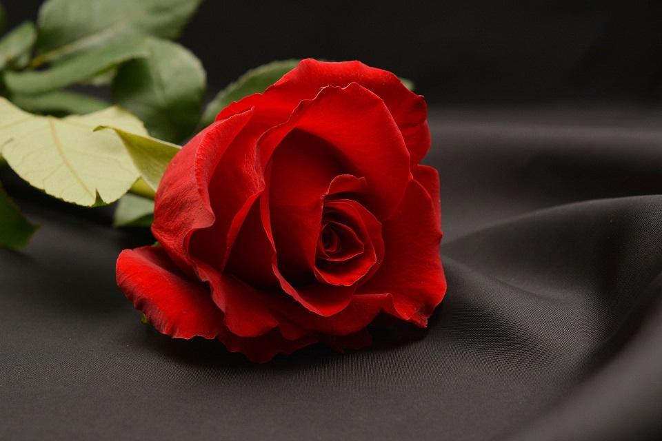 rose-1231353_1920